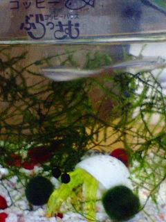 毬藻とヤドカリとコッピー